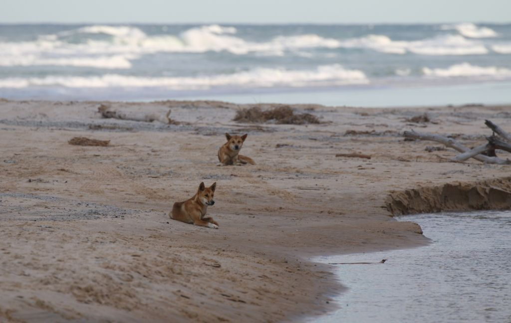 Kgari Fraser Island Native Dingoes FICU
