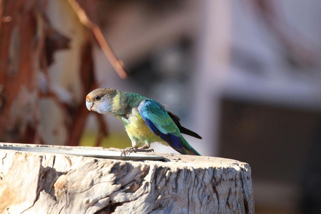 Wild Parrot Flinders Ranges SA