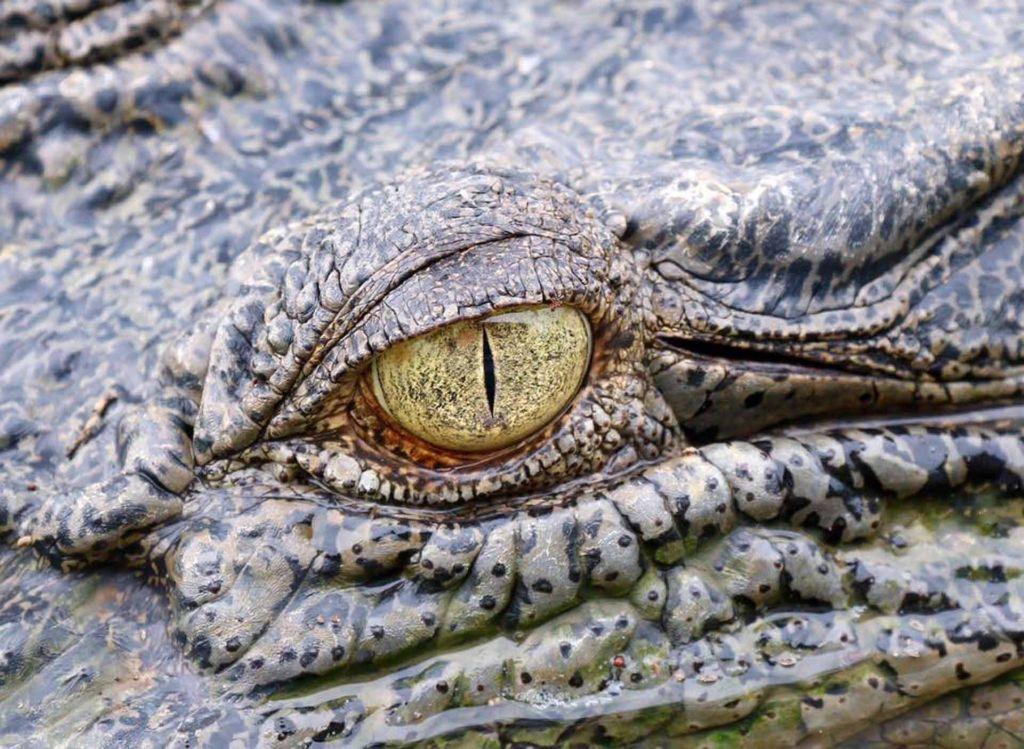 Wildlife Shot Crocodile Eye Close Up