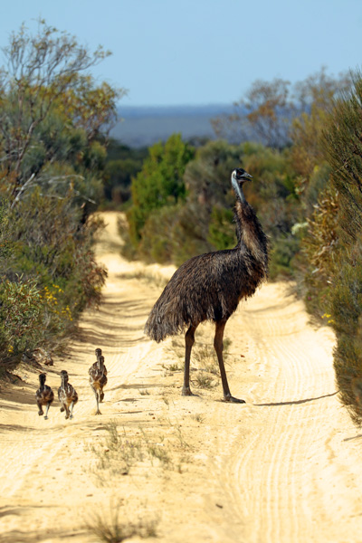 Emu with chicks on the Holland Track WA